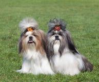 Portret dwa psa hoduje Shih Tzu Zdjęcie Royalty Free
