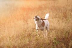Portret działający pies pies z kijem Obrazy Royalty Free