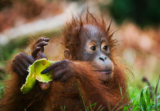 Portret dziecka orangutan Zakończenie Indonezja Wyspa Kalimantan & x28; Borneo& x29; obrazy royalty free