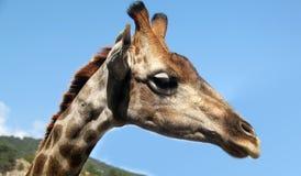 Portret dziecko żyrafa Zdjęcie Royalty Free
