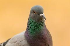 Portret dzika gołąbka z pięknymi piórkami Zdjęcie Royalty Free