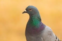 Portret dzika gołąbka z pięknymi piórkami Zdjęcia Stock