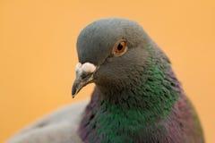 Portret dzika gołąbka z pięknymi piórkami Zdjęcia Royalty Free
