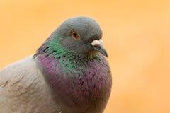 Portret dzika gołąbka z pięknymi piórkami Zdjęcie Stock