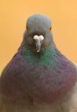 Portret dzika gołąbka z pięknymi piórkami Fotografia Royalty Free