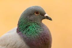 Portret dzika gołąbka z pięknymi piórkami Fotografia Stock