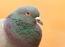 Portret dzika gołąbka z pięknymi piórkami zielenieje i siwieje Zdjęcia Royalty Free