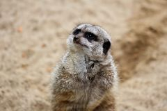 Portret dziki afrykanina Meerkat Suricata suricatta Zdjęcia Stock