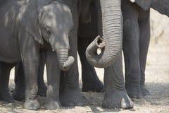 Portret dziki bezpłatny słonia byk fotografia stock