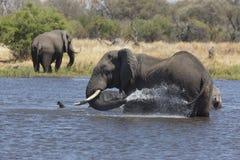 Portret dziki bezpłatny słonia natryskiwanie obrazy royalty free