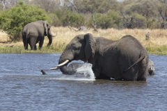 Portret dziki bezpłatny słonia natryskiwanie obraz stock