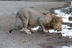 Portret dziki bezpłatny wędrować afrykański lew Obraz Royalty Free