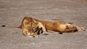 Portret dziki bezpłatny wędrować afrykański lew Fotografia Stock
