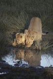 Portret dziki bezpłatny wędrować afrykański lew Zdjęcia Royalty Free