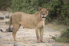 Portret dziki bezpłatny wędrować afrykański lew Zdjęcie Stock