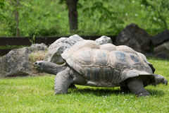 Portret dziki Galapagos tortoise i zielona trawa Obrazy Stock