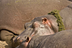 Portret dziki hipopotama dosypianie, Kruger, Południowa Afryka Zdjęcia Royalty Free