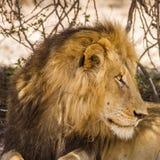 Portret dziki męski lew ma drzemkę w sawannie, w Kruger parku Zdjęcia Stock