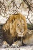 Portret dziki męski lew ma drzemkę w sawannie, w Kruger parku Obraz Royalty Free