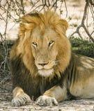 Portret dziki męski lew ma drzemkę w sawannie, w Kruger parku Zdjęcie Stock