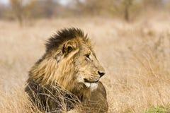 Portret dzikiego męskiego lwa łgarski puszek w krzaku, Kruger, Południowa Afryka Zdjęcie Royalty Free