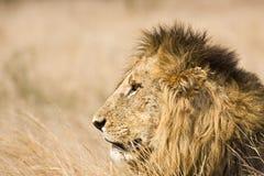 Portret dzikiego męskiego lwa łgarski puszek w krzaku, Kruger, Południowa Afryka Zdjęcia Stock