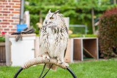 Portret Eagle sowa z wyróżniającym pojawieniem Duży ow Obraz Stock
