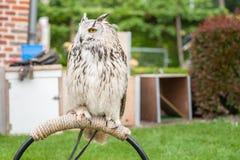 Portret Eagle sowa z wyróżniającym pojawieniem Duży ow Fotografia Stock