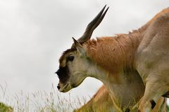 Portret eland taurotragus oryx Fotografia Royalty Free