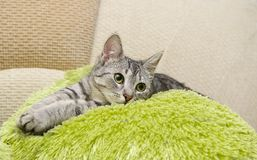 Portret elegancki popielaty kot, domowy kot w plamy brązu brudnym tle, kota portret, zwierzęta, domowy kot, kot z zielonym okiem Fotografia Stock