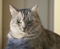 Portret elegancki popielaty kot, domowy kot w plamy tle, portret, domowy kot, kot z zielonymi oczami zamkniętymi up w ogniskowej  Zdjęcie Royalty Free