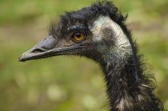 Portret emu struś Fotografia Royalty Free