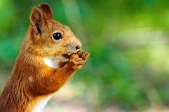 Portret eurasian czerwona wiewiórka przed białym tłem zdjęcia royalty free