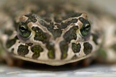 Portret Europejscy zieleni kumaka Bufo viridis Zdjęcia Royalty Free