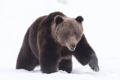 Portret europejski brown niedźwiedź Fotografia Royalty Free