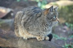 Portret Europese Wilde Kat, Felis-silvestris royalty-vrije stock fotografie