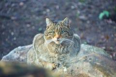 Portret Europese Wilde Kat, Felis-silvestris Stock Foto