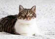 Portret figlarnie tabby kota lying on the beach na łóżku i gapić się w kamerę Śmieszny barwiony kot z pasiastą głową, plecy i whi Zdjęcie Royalty Free