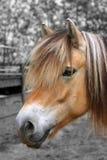 portret fiordu konia Obrazy Stock