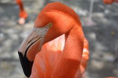 Portret flaming grupa w zoo Puebla3 obrazy stock