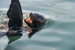 Portret foka z wody z usta szeroko otwarty Przylądek futerkowa foka (Arctocephalus pusillus) Zdjęcie Royalty Free
