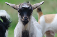 A portret of funny black-white goat kid. A portret of black-white goat kid royalty free stock photos