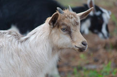 A portret of funny goat kid Stock Images