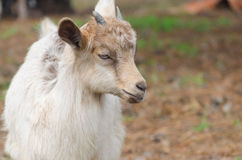 A portret of funny goat kid Stock Image