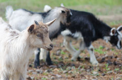 A portret of funny white goat kid Stock Photos