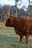 Portret Górska krowa od strony Zdjęcia Royalty Free