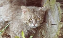 Portret gęsty długi z włosami szary Chantilly Tiffany kot relaksuje w ogródzie Zamyka up gruby tomcat zdjęcia royalty free
