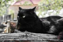 Portret gęsty długie włosy czarny Chantilly Tiffany kot relaksuje w ogródzie na drewnianych belach Zamyka up gruby tomcat zdjęcie royalty free