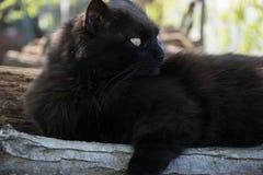 Portret gęsty długie włosy czarny Chantilly Tiffany kot relaksuje w ogródzie na drewnianych belach Zamyka up gruby tomcat zdjęcie stock