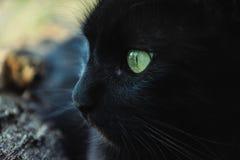 Portret gęsty długie włosy czarny Chantilly Tiffany kot relaksuje w ogródzie Zamyka up gruby tomcat zdjęcia royalty free